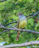 Great Crested Flycatcher-2
