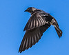 Purple Martin - Flaps Down